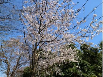 桜も綺麗に咲いていました