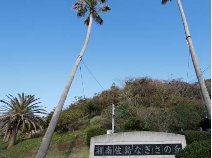 佐島の丘の分譲地入口の椰子の木を見上げると・・・