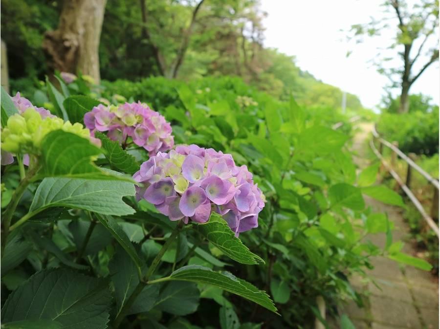 あじさい公園の紫陽花も咲き始めました