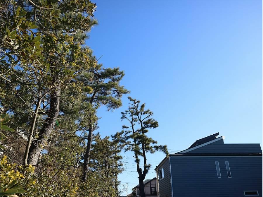 青空に向かって黒松の木が